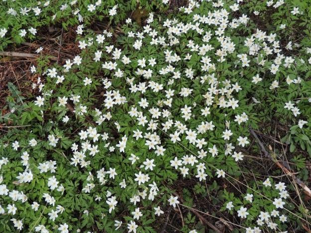 Anemone nemorosa - valkovuokko kasvaa parhaimmillaan laajoina ja hyvin tiheinä kasvustoina. EH, Hämeenlinna, Loimalahti, Hirsimäki, 11.5.2013. Copyright Hannu Kämäräinen.