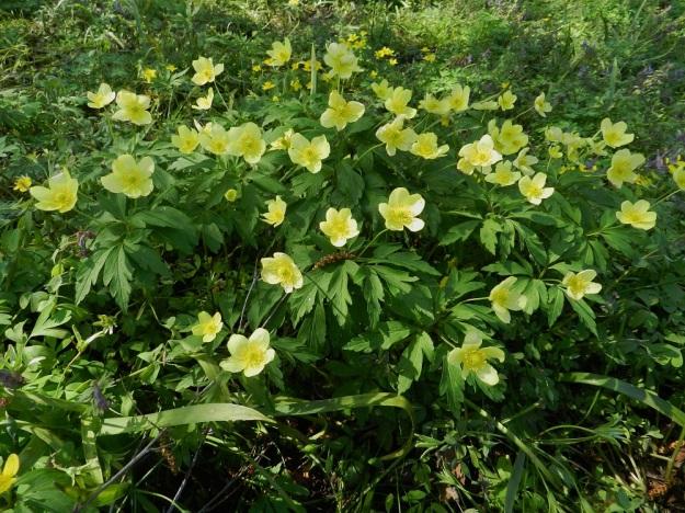 Anemone nemorosa x ranunculoides - ternivuokko on lisääntymiskyvytön risteymä, mutta se pystyy suikertavan juuristonsa avulla levittäytymään ja muodostamaan tiheitäkin klooneja. Kukkavarsissa on tavallisesti yksi tai kaksi, harvemmin kolme kukkaa. Taustalla näkyy toista kantalajia, keltavuokkoa. EH, Hattula, Sattula, Sattulantien laitametsikkö, 19.5.2012. Copyright Hannu Kämäräinen.