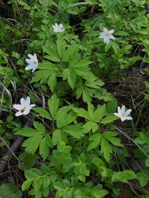 Anemone nemorosa x trifolia - valkovuokko x alppivuokko. Risteymä on tuntomerkeiltään kantalajeihin nähden välimuotoinen ja kallistuu välillä enemmän toiseen kuin toiseen kantalajiinsa. Kuvassa olevan risteymäkasvuston lehdet lähenevät valkovuokkoa, mutta heteet ovat vaaleankeltaiset. Asikkala, Hillilä, Syrjänsupat, 7.6.2012 EH. Copyright Hannu Kämäräinen.