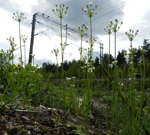 Androsace septentrionalis - ketonukki kasvaa runsaan siementuotantonsa turvin usein tiheinä kasvustoina. Tällä kasvupaikalla yksilömäärä oli enimmillään 50-100 neliöllä. Se jää kuitenkin kauas eräästä Heinolan kasvupaikasta, jossa 1980-luvun lopulla laskettiin jopa 3 000-4 000 yksilöä neliöltä. EH, Janakkala, Turenki, radanvarsi, 20.5.2012. Copyright Hannu Kämäräinen.
