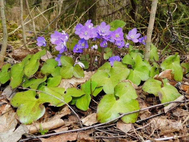 Hepatica nobilis - lehtosinivuokon aluslehdet talvehtivat. Lehtilapa on herttatyvinen ja siinä on tavallisesti kolme pyöreämuotoista, ehyttä liuskaa. Valo vaikuttaa kukan värin aistimukseen. Kuvassa näyttäisi olevan sinertäviä ja punaviolettiin vivahtavia kukkia. EH, Hämeenlinna, Sairio, Ruutikellarintien laitametsä, 4.5.2013. Copyright Hannu Kämäräinen.