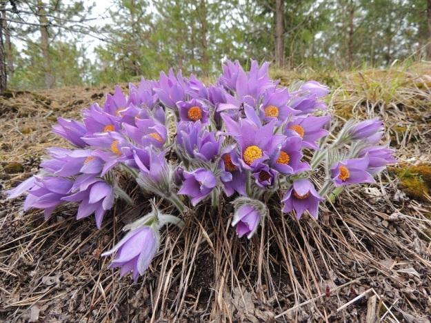 Pulsatilla patens - hämeenkylmänkukka voi suotuisalla ja sopivan valoisalla paikalla kasvattaa samasta mättäästä jopa yli 50 kukkavartta, kuten kuvassa. EH, Janakkala, Vuortenkylä 2.5.2015. Copyright Hannu Kämäräinen.