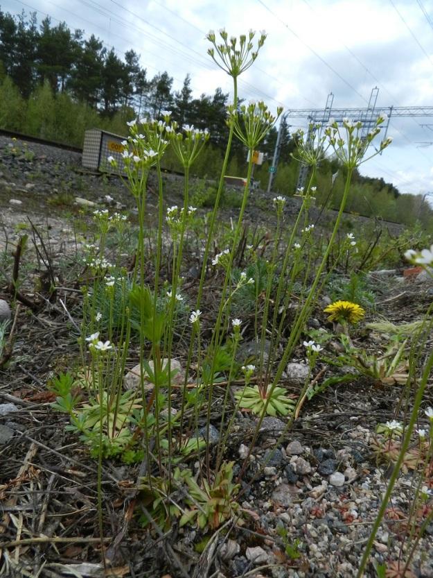 """Androsace septentrionalis - ketonukki havaittiin tällä kasvupaikalla ensimmäisen kerran jo 1932. Näytteitä on myös 1950-luvulta, sitten on 35 vuoden tauko, kunnes taas vuodesta 1989 alkaen lajia on seurattu vuosittain. Laji on saapunut paikalle ilmeisesti joko radan tuomana tai ratatöissä käytetyn soran mukana. Todennäköisesti se on sinnitellyt """"kuivien"""" kausien yli runsaan siemenpankkinsa avulla. EH, Janakkala, Turenki, radanvarsi, 20.5.2012. Copyright Hannu Kämäräinen."""