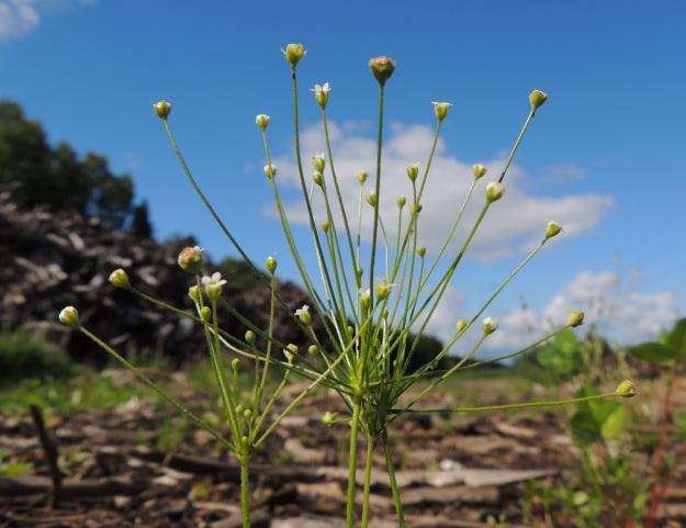 Androsace filiformis - idännukin kukinto on harsu, yleensä enintään 25-kukkainen sarja, jossa kukkaperät ovat eripituiset. EH, Kouvola, Kuusankoski, Kuusanniemi, Myllyhuoko, varastokenttä, jossa on varastoitu mm. venäläistä puutavaraa, 27.7.2015. Copyright Hannu Kämäräinen.