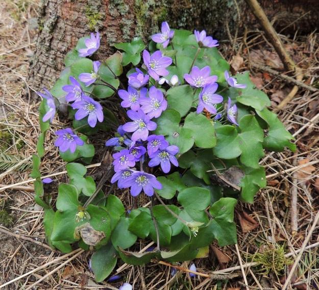 Hepatica nobilis - lehtosinivuokon kukat ovat yksittäin noin 10-15 cm pitkän, vanamaisen varren latvassa. Talvehtineiden lehtien ruoti on puolestaan noin 10-20 cm pitkä, mutta vaakatasoisempana pysyttelevät lehdet eivät kuitenkaan peitä pystyjä kukkia. EH, Hämeenlinna, Loimalahti, Hirsimäki, 28.4.2014. Copyright Hannu Kämäräinen.