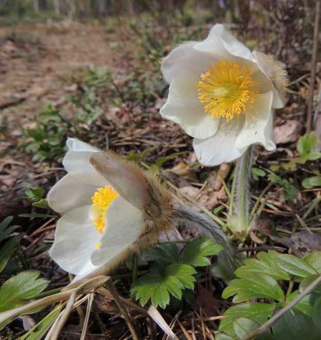 Pulsatilla vernalis - kangasvuokon kukat ovat enemmän tai vähemmän kellomaiset avautumisasteesta riippuen. Terälehtimäisiä kehälehtiä on kahdessa sisäkkäisessä kiehkurassa yhteensä kuusi. Ne ovat soikeahkot ja niistä kolme sisempää ovat leveämpiä ja kolme ulompaa selvästi kapeampia. Kehälehtien sisäpinta on valkoinen, kun taas erityisesti ulompien kehälehtien ulkopinnassa on myös kellertäviä, ruskehtavia tai sinipunaisia värisävyjä. Niiden ulkopinta on tiheähkösti ruskehtavakarvainen. EH, Hämeenlinna, Tuulos, Mäntynummi, 3.5.2015. Copyright Hannu Kämäräinen.