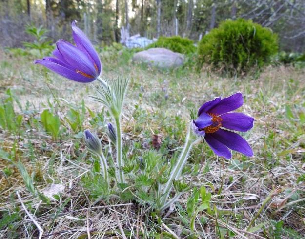 Pulsatilla vulgaris subsp. vulgaris - ketokylmänkukan subsp. lännenkylmänkukan kukinnan aikana aluslehdet alkavat kasvaa. Kukkien kehälehdet ovat terälehtimäisiä ja kutakuinkin samanlevyisiä sekä yleensä kuusilukuisia. Vuokkojen tapaan vaihteluakin esiintyy. Kuvan oikeanpuolimmaisessa kukassa on seitsemän kehälehteä. EH, Hämeenlinna, Loimalahti, Hirsimäki, 15.5.2018. Copyright Hannu Kämäräinen.