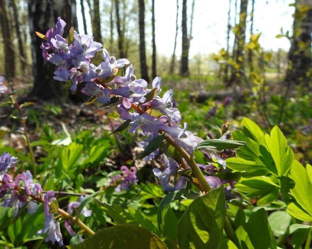 Corydalis cava - etelänkiurunkannuksen kukat ovat usein sinertävän tai punertavan violetteja. Tiheähkössä tertussa on tavallisesti enintään noin 15 kukkaa, mutta lukumäärä voi toisinaan nousta jopa 30:een, kuten kuva osoittaa. U, Helsinki, Kannelmäki, Mätäjoen rantametsäkaista, 1.5.2019. Copyright Hannu Kämäräinen.
