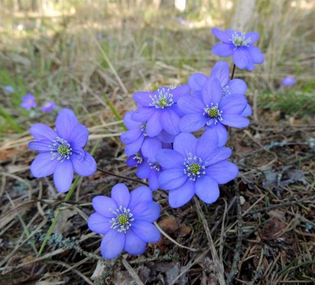 Hepatica nobilis - lehtosinivuokon tyvellä ei aina näy talvehtineita lehtiä. Kukat vaikuttavat nimensä mukaisesti usein sinisiltä pilvisemmällä säällä. Kukan kehälehtien määrä vaihtelee runsaasti samassakin yksilössä. Osa kehälehdistä voi jäädä myös selvästi muita pienemmiksi, kuten kuvassa. EH, Hämeenlinna, Loimalahti, Hirsimäki, 25.4.2015. Copyright Hannu Kämäräinen.