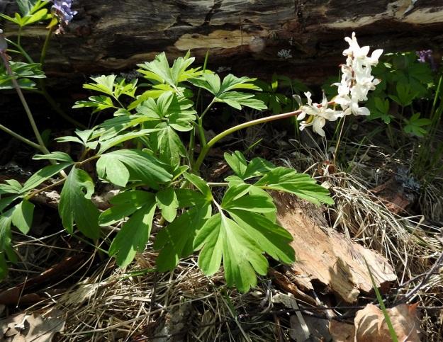 Corydalis cava - etelänkiurunkannuksen kukat voivat olla myös täysin valkeat, f. albiflora. Varsilehtiä on kaksi, joiden lisäksi tavallisesti on myös yksi tyvilehti, joka näkyy kuvassa ylemmän varsilehden takana, lahopuun vieressä. U, Helsinki, Kannelmäki, Mätäjoen rantametsäkaista, 1.5.2019. Copyright Hannu Kämäräinen.
