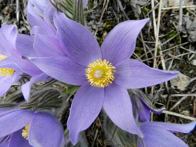 Pulsatilla patens - hämeenkylmänkukan kukka on kellomainen, pysty tai nuokkuva ja avoimimmillaan läpimitaltaan noin 60-70 mm. Kukassa on kuusi terälehtimäistä ja noin samanlevyistä kehälehteä, joiden väri vaihtelee sinisehköstä sinipunaiseen. Valo vaikuttaa olennaisesti värisävyn aistimukseen. EH, Janakkala, Vuortenkylä 6.5.2012. Copyright Hannu Kämäräinen.