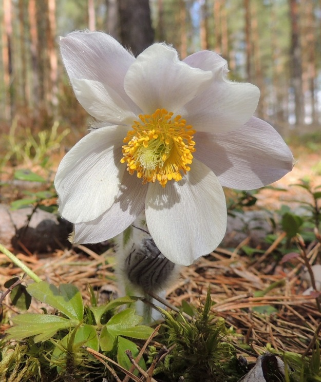 """Pulsatilla vernalis - kangasvuokon kehälehtien määrä voi muiden vuokkojen tapaan vaihdella. Kuvan kukassa on kahdeksan kehälehteä, joista yksi pienemmäksi jäänyt näkyy """"luoteeseen"""" osoittavan kehälehden päällä. EH, Hämeenlinna, Tuulos, Mäntynummi, 3.5.2015. Copyright Hannu Kämäräinen."""