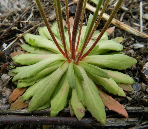 Androsace septentrionalis - ketonukin tyviruusuke on runsaslehtinen ja maanmyötäinen. Sen lehdet ovat 1-4 cm pitkät ja kärkiosastaan hammaslaitaiset sekä hapsi- ja hankakarvaiset. Vanoja voi olla yhdessä yksilössä kymmenkuntakin, kuten kuvassa ja ne ovat usein alaosastaan punertavia. Vanojen karvoitus on lyhyttä ja monimuotoista. EH, Janakkala, Turenki, radanvarsi, 20.5.2012. Copyright Hannu Kämäräinen.