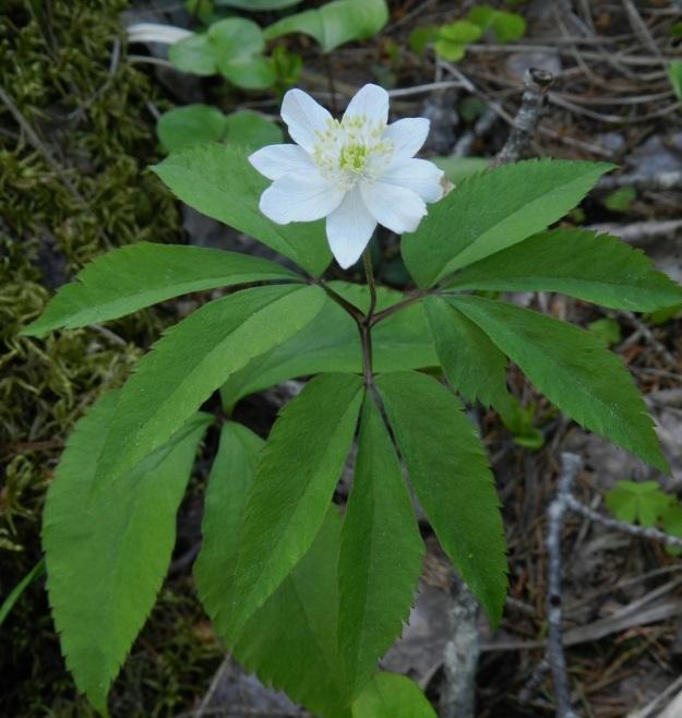 Anemone nemorosa x trifolia - valkovuokko x alppivuokko. Kuvassa on toinen esimerkki puhtaan alppivuokon ja risteymän välisen rajankäynnin hankaluudesta silloin, kun suurella todennäköisyydellä on tapahtunut takaisinristeytyminen alppivuokkoon. Varsilehdet ovat samalla tavoin hampaiset kuin alppivuokolla ja vain yksi sivulehdykkä on halkoinen. Myös vieressä oleva aluslehti on samanlainen kuin alppivuokolla. Tässä tapauksessa heteiden vaaleankeltaisuus paljastaa kuitenkin valkovuokon vienon vaikutuksen. Asikkala, Hillilä, Syrjänsupat, 7.6.2012 EH. Copyright Hannu Kämäräinen.