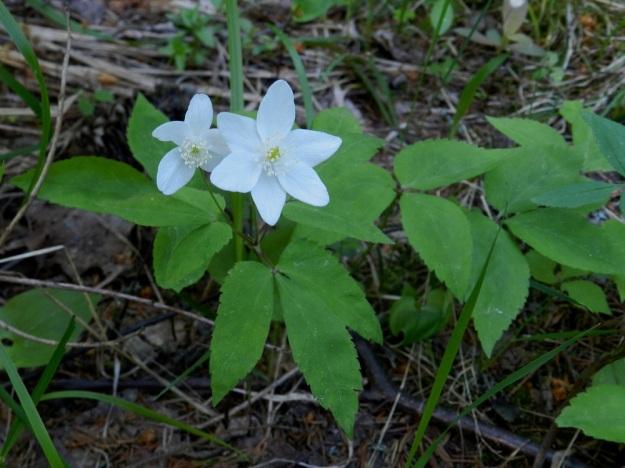 Anemone trifolia - alppivuokko on lähes aina yksikukkainen. Kuvan kaksikukkaista kukkavartta voidaan sanoa Suomessa harvinaisen lajin harvinaisuudeksi. EH, Asikkala, Hillilä, Syrjänsupat, 7.6.2012. Copyright Hannu Kämäräinen.