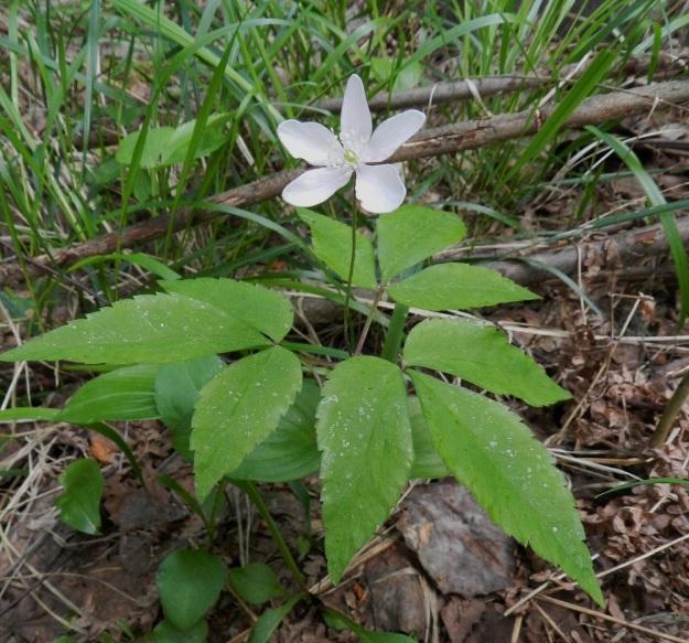 Anemone trifolia - alppivuokon kukan kehälehtien yleisin määrä on 6-7, mutta vaihteluväli on 5-8. Tämä yksilö edustaa skaalan alalaitaa. EH, Asikkala, Hillilä, Syrjänsupat, 7.6.2012. Copyright Hannu Kämäräinen.