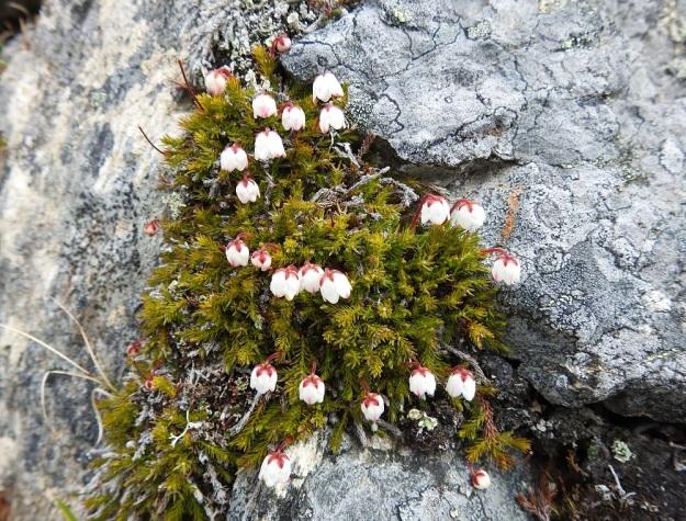 Harrimanella hypnoides (Cassiope hypnoides) - tunturisammalvarpio, EnL, Enontekiö, Kilpisjärvi, Saana, Saanan NW-rinne, 745 m mpy, 5.7.2018. Copyright Hannu Kämäräinen.