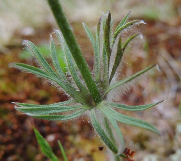 Pulsatilla pratensis - ahokylmänkukan varsilehdet ovat yleensä noin 2-7 cm pitkiä, tyvestään yhdiskasvuisia ja liuskaisia sekä kiertävät kukan alapuolella vartta yhtenäisenä kiehkurana. Liuskat ovat kapeahkoja, vihreitä, valkokarvaisia ja kärjestään useimmiten uudelleen liuskoittuvia. A, Lemland, Herröskatan, 30.5.2013. Copyright Hannu Kämäräinen.
