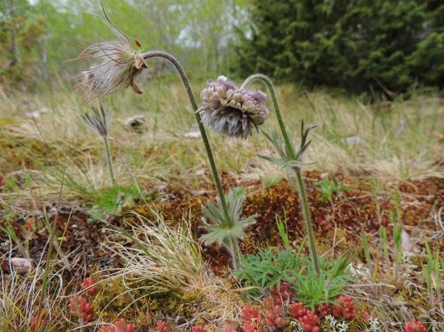 Pulsatilla pratensis - ahokylmänkukka löytyi 2000-luvun alkupuolella Ahvenanmaan Lemlandista, Herröskatanin luonnonsuojelualueelta. Vuonna 2013 kalliokedolla kasvoi kuusi lähekkäistä, pientä yksilöä, joista neljässä oli kukkavarsi. Kuvan normaalisti kehittynyt kukka on jo edennyt hedelmävaiheeseen, mutta epämuodostunut kukka jatkaa tuloksettomaksi jäävää kukintaansa.  A, Lemland, Herröskatan, 26.5.2013. Copyright Hannu Kämäräinen.
