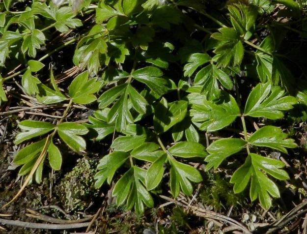 Pulsatilla vernalis - kangasvuokon talvehtineet aluslehdet ovat kesään asti säilyviä, maanmyötäisiä ja yläpinnaltaan kiiltävähköjä. Lehdet ovat parilehdykkäisiä. Ruodillisen päätölehdykän lisäksi ruodittomia sivulehdykkäpareja on useammin kaksi ja harvoin yksi. Kuten kuvasta on nähtävissä, kärkilehdykkä on toisinaan tyveltään niin syvästi liuskainen, että siinä voisi nähdä jo ylimääräisen, kolmannen lehdykkäparin. EH, Hämeenlinna, Tuulos, Mäntynummi, 13.5.2012. Copyright Hannu Kämäräinen.
