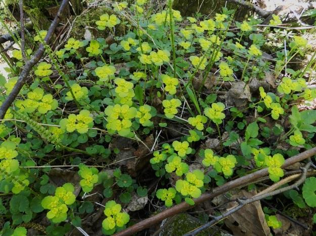Chrysosplenium alternifolium - kevätlinnunsilmä on hyvin omannäköisensä kevätkukkija, joka hyvillä paikoilla, lähellä virtaavaa vettä kasvaa tiheinä varsikkoina ja erottuu hyvin vielä vähäkasvustoisesta maasta. Sen vihertävänkeltaiset ylälehdet heijastavat hyvin valoa. EH, Hämeenlinna, Lammi, Vähä-Evo, Kallio- ja Ekojärven välisen puron varsi, 13.5.2012. Copyright Hannu Kämäräinen.