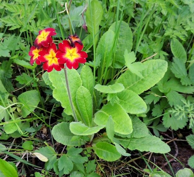 Primula veris x vulgaris - loistokevätesikko kasvaa luonnokasvien seassa rantaniityllä. Paikka on luonnonsuojelualue, joten on vaikea uskoa, että kukaan olisi sitä tarkoituksella sinne levittänyt. A, Jomala, Ramsholm, luonnonsuojelualue, 29.5.2013. Copyright Hannu Kämäräinen.