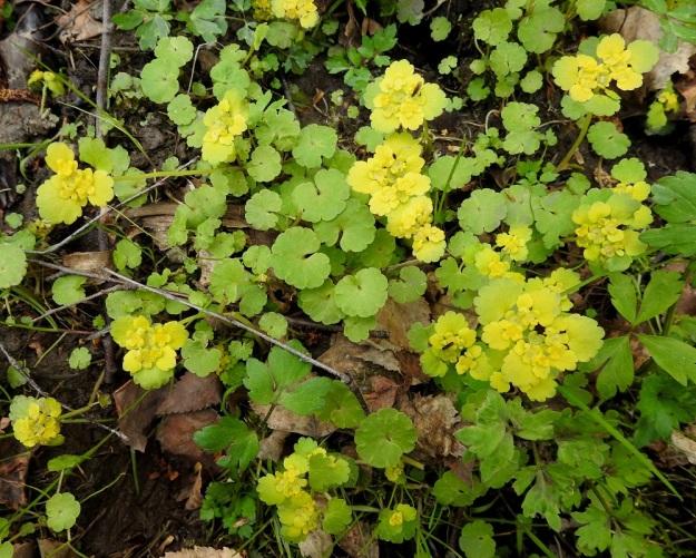 Chrysosplenium alternifolium - kevätlinnunsilmän ylälehdet ovat toisinaan lähes kokonaan keltaiset ja näin vieläkin huomiota herättävämmät. Aluslehtiä on usein runsaasti ja ne ovat pyöreämuotoisia sekä nyhälaitaisia. Niiden tyvilovi on syvä ja kapea. St, Sastamala, Kaltsila, Lamminmaantien läheinen puro, 16.5.2019. Copyright Hannu Kämäräinen.