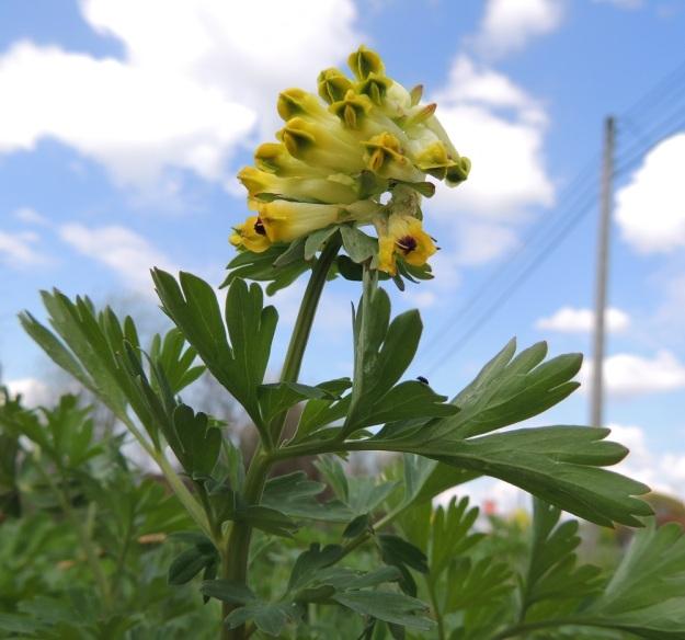 Corydalis nobilis - jalokiurunkannuksen varsilehdet ovat kierteisesti varren yläosassa. Ne ovat lyhytperäisiä tai perättömiä ja 1-2 kertaa parilehdykkäisiä. Kukinto on tiheäkukkainen terttu, jossa kannukselliset kukat ovat yleensä poikittain. EH, Hämeenlinna, Pullerinmäki, Mäkelän teollisuusalue, Tölkkimäentien varsi, joutomaapenger 11.5.2013. Copyright Hannu Kämäräinen.
