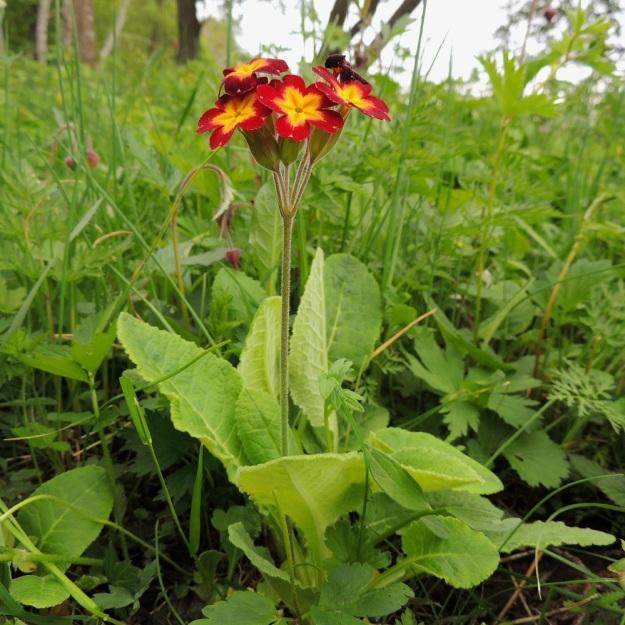 Primula veris x vulgaris - loistokevätesikko on suomessa aina koristekasvi- ja jalostusperäinen, koska toista kantalajia, hyvin vaaleankeltakukkaista kääpiöesikkoa, P. vulgaris, ei täällä kasva. A, Jomala, Ramsholm, luonnonsuojelualue, 29.5.2013. Copyright Hannu Kämäräinen.