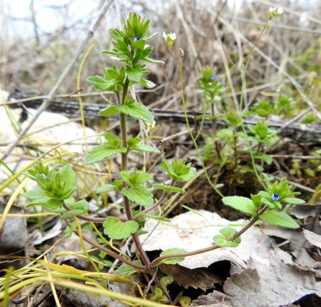 Veronica arvensis - ketotädyke haaroo tavallisesti alaosastaan. Ensimmäiset kukat ovat haarojen latvoissa, mutta kotahedelmiä ei vielä näy. Alemmat varsilehdet ovat ruodilliset ja ylemmät ovat ruodittomat. EH, Janakkala, Harviala, taimistoalue 28.5.2019. Copyright Hannu Kämäräinen.