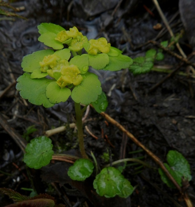 Chrysosplenium alternifolium - kevätlinnunsilmä on noin 10-15 cm korkea. Sen kukinto on varren latvassa tasalakisena huiskilona. EH, Hämeenlinna, Idänpää, Aulangonjärven kaakkoispää, Kihtersuo, 5.5.2012. Copyright Hannu Kämäräinen.