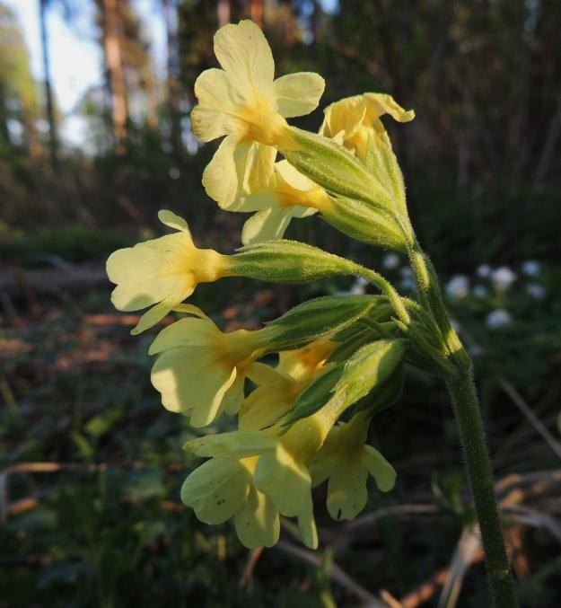 Primula elatior - lehtoesikon, (etelänkevätesikon) kukinto on toispuoleinen sarja, jossa on yleensä 5-20 noin 20-30 mm pitkää kukkaa. Verhiö on ahdas, lieriömäinen tai kapean kellomainen, särmistään tummemman ja väleistä vaaleamman vihreä. Vanat, kukkaperät ja verhiöt ovat tiheään karvaisia ja nystykarvaisia. EH, Hämeenlinna, Loimalahti, Hirsimäki, rehevähkön kangasmetsän laita, 22.5.2014. Copyright Hannu Kämäräinen.