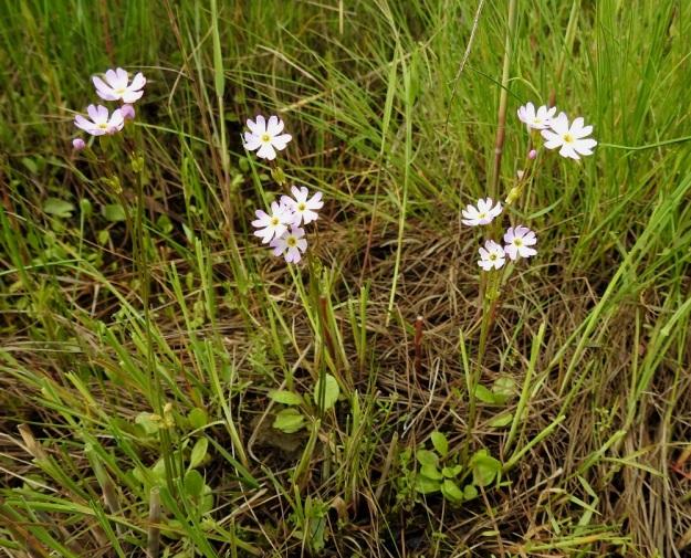 Primula nutans subsp. finmarchica var. jokelae - nuokkuesikko subsp. ruijannuokkuesikko var. perämerennuokkuesikko on kukkiessaan yleensä vain 5-10 cm korkea. Kukintovarsi on lehdetön vana, jonka päässä on tavallisesti vain 2-3 vaaleanpunaista tai vaaleansinipunaista kukkaa. OP, Oulu, Haukipudas, Martinniemi, 13.6.2019. Copyright Hannu Kämäräinen.