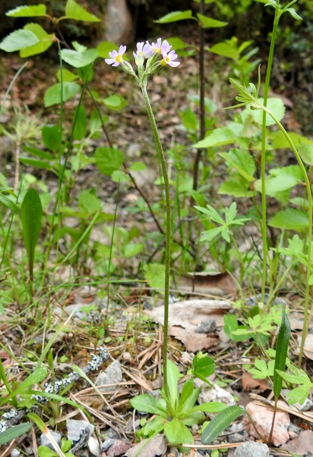 Primula stricta - lapinesikko on kukkiessaan yleensä 5-20 cm korkea (kuvassa noin 15 cm) ja sen kukintovana on usein loivamutkainen. Ks, Kuusamo, Vasaraperä, Jäkäläniemi, Yli-Kitka -järven kaakkoisranta Apajalahden ja Mäntyniemen välissä, 13.6.2019. Copyright Hannu Kämäräinen.
