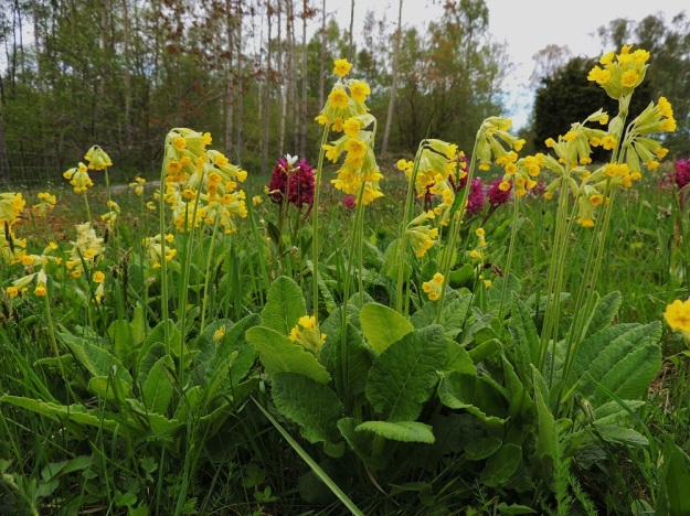 Primula veris - kevätesikon kasvupaikoilla voi tavata myös seljakämmekän, Dactylorhiza sambucina ja papelorikon, Saxifraga granulata. A, Lemland, Herröskatan, luonnonsuojelualue, 26.5.2013. Copyright Hannu Kämäräinen.