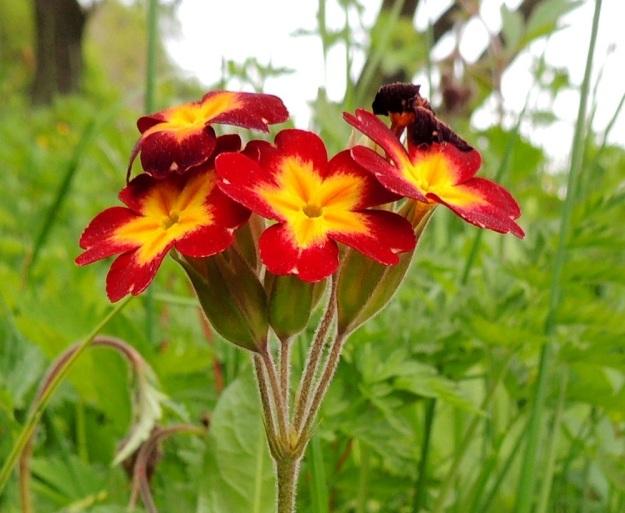 Primula veris x vulgaris - loistokevätesikon kukinto on pysty sarja, jossa on yleensä 5-10 kukkaa. Verhiöt ovat viisisärmäiset ja -liuskaiset, tasaisen vihreät tai kirjavat. Muodoltaan ne ovat kapeamman kellomaiset kuin kevätesikolla mutta leveämmät ja väljemmät kuin kääpiöesikon lieriömäiset verhiöt. A, Jomala, Ramsholm, luonnonsuojelualue, 29.5.2013. Copyright Hannu Kämäräinen.