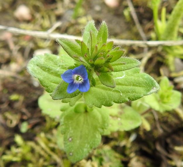 Veronica arvensis - ketotädykkeen varren latvassa on kukintaansa aloittavan kasvin ensimmäinen kukka. Teriö on sininen, ratasmainen, neliliuskainen ja 2-3 mm leveä. EH, Janakkala, Harviala, taimistoalue 28.5.2019. Copyright Hannu Kämäräinen.