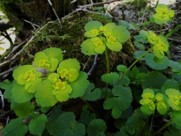 """Chrysosplenium alternifolium - kevätlinnunsilmällä on kukinnon tyvellä, laajahkoja, pyöreähköjä - munuaismaisia ja nyhälaitaisia ylälehtiä. Lisäksi tiiviisti samassa """"rytäkässä"""" on kukkien tukilehtiä, jotka ovat pienempiä, enemmän ja vähemmän nyhälaitaisia tai aivan ehyitä. Ylälehdet, tukilehdet ja kukat muodostavat lähes levymäisen ryhmän varren latvaan. EH, Hämeenlinna, Lammi, Vähä-Evo, Kallio- ja Ekojärven välisen puron varsi, 13.5.2012. Copyright Hannu Kämäräinen."""