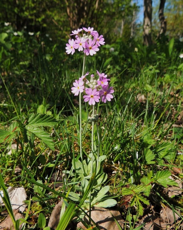 Primula farinosa - jauhoesikon vana kukintoineen on yleensä 10-20 cm korkea, mutta jatkaa vielä hedelmävaiheessa kasvuaan ja voi olla 30 cm:kin. A, Lemland, Nåtö, luonnonsuojelualue, 27.5.2013. Copyright Hannu Kämäräinen.