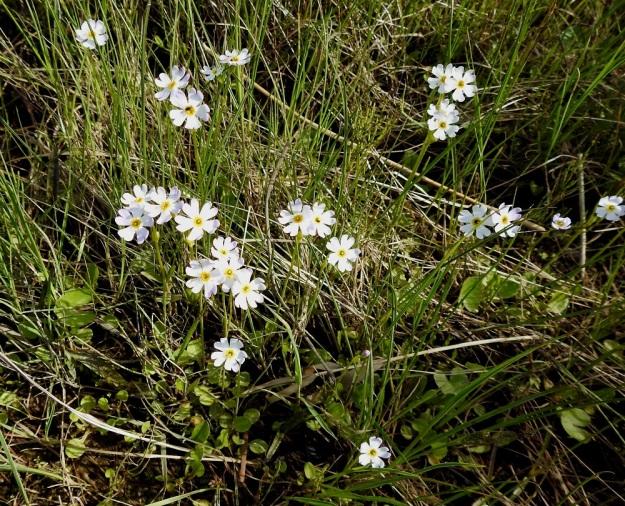 Primula nutans subsp. finmarchica var. jokelae - nuokkuesikon subsp. ruijannuokkuesikon var. perämerennuokkuesikon kukat voivat olla ainakin auringonvalossa nähtyinä myös valkoisia. OP, Oulu, Haukipudas, Martinniemi, 13.6.2019. Copyright Hannu Kämäräinen.
