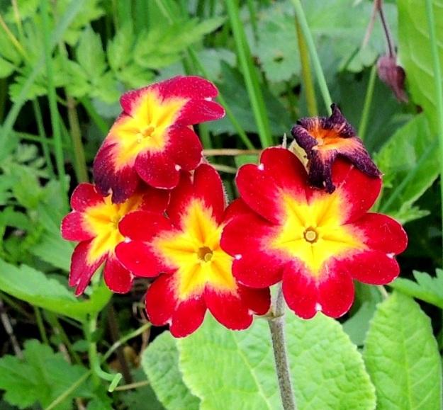 Primula veris x vulgaris - loistokevätesikon kukat ovat kookkaat, yleensä noin 20-30 mm leveät. Luonteisissa lajiristeymissä kukkien väri on vaaleankeltainen, mutta jalostusperäisissä lajikkeissa se vaihtelee ollen yleensä keltainen, punainen tai sininen eri sävyin ja yhdistelmin. Usein kukat ovat kaksiväriset, kuten kuvassa. A, Jomala, Ramsholm, luonnonsuojelualue, 29.5.2013. Copyright Hannu Kämäräinen.