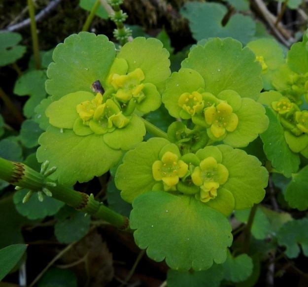 Chrysosplenium alternifolium - kevätlinnunsilmän kehä ei ole erilaistunut verhiöksi ja teriöksi, vaan kukan muodostaa vain neliliuskainen verhiö, jossa on kahdeksan hedettä ja kaksivartaloinen emi. EH, Hämeenlinna, Lammi, Vähä-Evo, Kallio- ja Ekojärven välisen puron varsi, 13.5.2012. Copyright Hannu Kämäräinen.