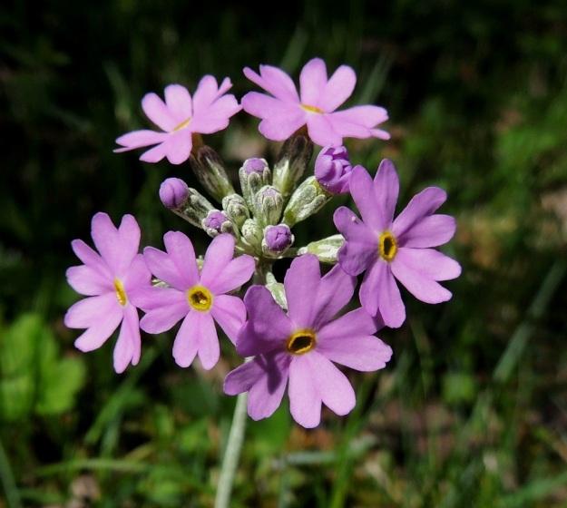 Primula farinosa - jauhoesikon kukinto on pysty sarja, jossa ensimmäisenä avautuvat laitimmaiset kukat. Kukan verhiö on pyöreäpäisesti viisiliuskainen ja valkojauhoinen. A, Lemland, Nåtö, luonnonsuojelualue, 27.5.2013. Copyright Hannu Kämäräinen.