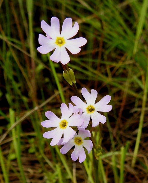 Primula nutans subsp. finmarchica var. jokelae - nuokkuesikon subsp. ruijannuokkuesikon var. perämerennuokkuesikon kukintosarja on tukilehdellinen. Tukilehdet ovat leveähköjä, pulleatyvisiä ja suippokärkisiä sekä noin 5-6 mm pitkiä. Teriö on 10-20 mm leveä, useimmiten kuitenkin noin 15 mm. Sen nielu ja teriönliuskojen tyvi ovat keltaiset. OP, Oulu, Haukipudas, Martinniemi, 13.6.2019. Copyright Hannu Kämäräinen.