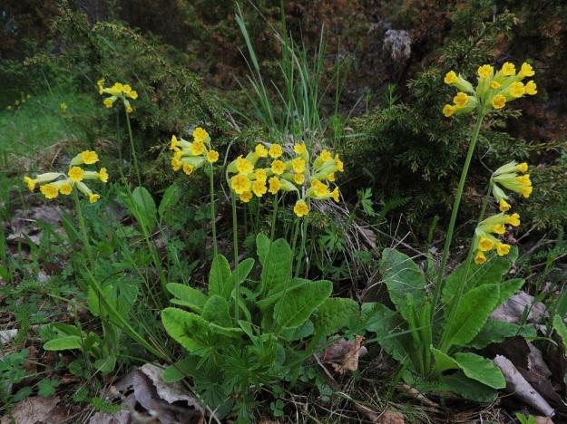 Primula veris - kevätesikon lehtiruusukkeista kasvaa yleensä yksi kukkavana, mutta toisinaan niitä on kaksi kolmekin. Kukkien lukumäärä on tavallisesti 5-10, mutta saattaa nousta jopa 30:een. A, Lemland, Herröskatan, luonnonsuojelualue, 26.5.2013. Copyright Hannu Kämäräinen.