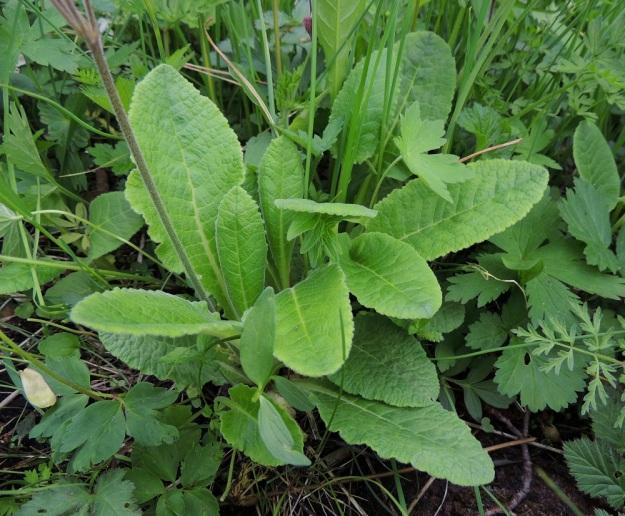 Primula veris x vulgaris - loistokevätesikon kukintovana on tiheäkarvainen. Ruusukelehtien muoto vaihtelee kantalajien mukaan. Samassa ruusukkeessa voi olla tylppätyvisiä, kevätesikon tyyppisiä lehtiä ja suippotyvisiä kääpiöesikon kaltaisia lehtiä. Lehtilavan reuna on vaihdellen nyhäinen sekä leveä- ja matalahampainen. Lehtiruoti on lapaa lyhyempi. A, Jomala, Ramsholm, luonnonsuojelualue, 29.5.2013. Copyright Hannu Kämäräinen.