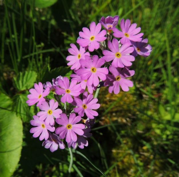 Primula farinosa - jauhoesikon sarjassa on tavallisesti 10-20 vaaleanpunaista tai sinertävän punaista kukkaa. Teriön koko vaihtelee yleensä välillä 8-15 mm. Sen nielu ympäristöineen on keltainen. A, Lemland, Nåtö, luonnonsuojelualue, 11.6.2014. Copyright Hannu Kämäräinen.