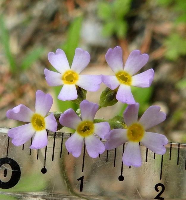 Primula stricta - lapinesikon kukat ovat vaaleanpunertavia tai sinipunaisia ja keltanieluisia. Myös teriönliuskojen tyvi on keltainen. Kukka on noin 4-9 mm leveä (kuvan kukat ovat 7-8 mm). Ks, Kuusamo, Vasaraperä, Jäkäläniemi, Yli-Kitka -järven kaakkoisranta Apajalahden ja Mäntyniemen välissä, 13.6.2019. Copyright Hannu Kämäräinen.