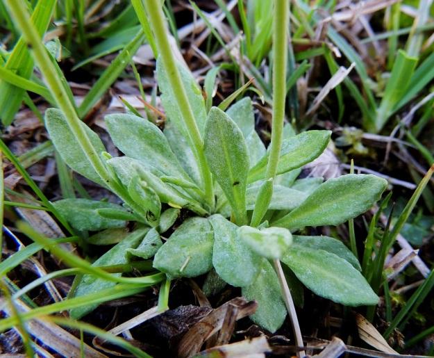 Primula farinosa - jauhoesikon ruusukelehdet ovat 3-4 cm pitkiä, vastapuikeita tai suikeita. Lehtilavan tyvi on kapeneva muuttuen ilman rajaa siipipalteiseksi ruodiksi. Lehden yläpinta on kaljuhko tai harvanystyinen. A, Lemland, Nåtö, luonnonsuojelualue, 27.5.2013. Copyright Hannu Kämäräinen.