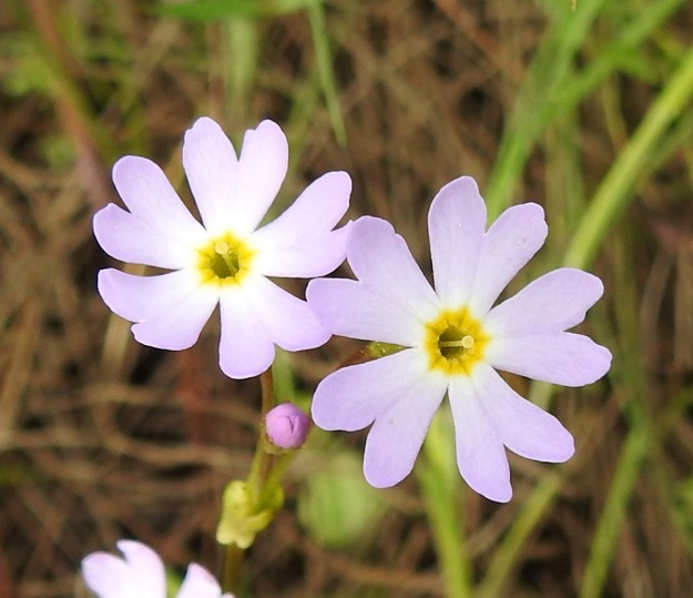 Primula nutans subsp. finmarchica var. jokelae - nuokkuesikon subsp. ruijannuokkuesikon var. perämerennuokkuesikon toisissa kukissa emin luotti on nielusta selvästi koholla ja heteet ovat torvessa syvällä näkymättömissä. Tämä kukkien rakenne edistää tehokkaasti hyönteisten suorittamaa ristipölytystä. OP, Oulu, Haukipudas, Martinniemi, 13.6.2019. Copyright Hannu Kämäräinen.